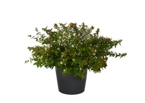 Abelia Grandiflora - Cespuglio