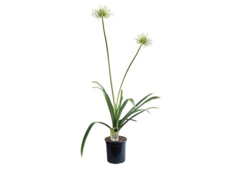 Caporalplant - Agapanthus