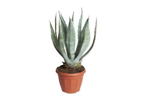 Caporalplant - Agave Americana