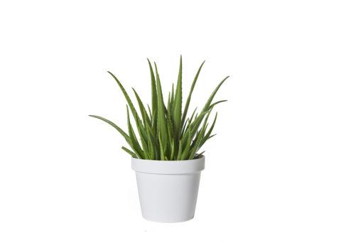Caporalplant - Aloe