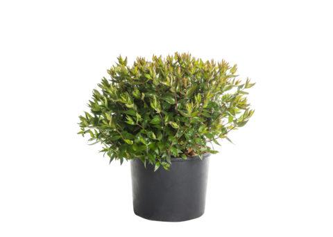 Caporalplant - Abelia