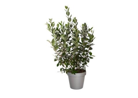 Caporalplant - Acca Sellowiana - cespuglio 24