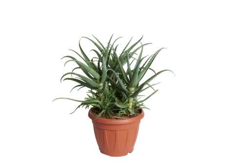 Caporalplant - Aloe Arborescens - Cespuglio 40