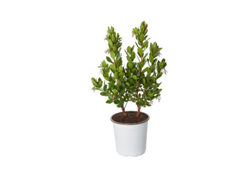 Caporalplant - Arbustus Corbezzolo Cespuglio 17