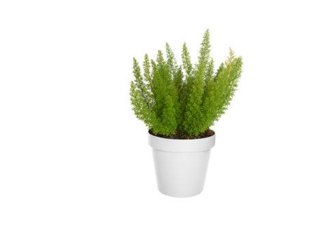 Caporalplant - Asparagus Spengery Cespuglio 17
