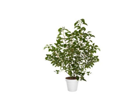 Caporalplant - Cinnammomum Champhora Cespuglio 24