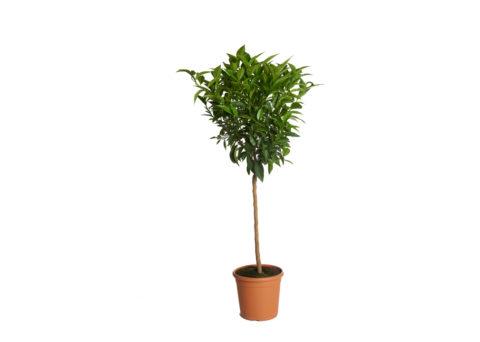 Caporalplant - Citrus Clementina