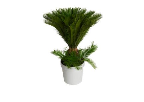 Caporalplant - Cycas Revoluta 35
