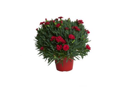Caporalplant - Dianthus Caryophyllus 14