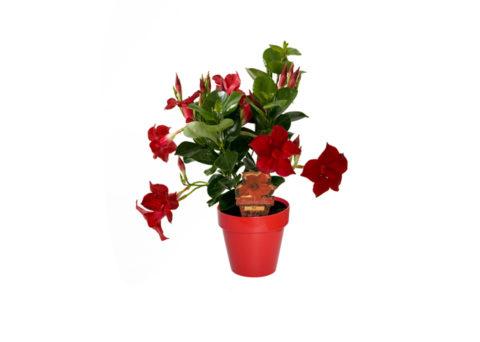 Caporalplant - Dipladenia rossa