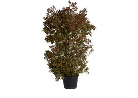Caporalplant - Dodonea viscosa purpurea vaso 50