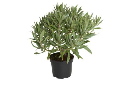 Caporalplant - Echium fastuosum 17