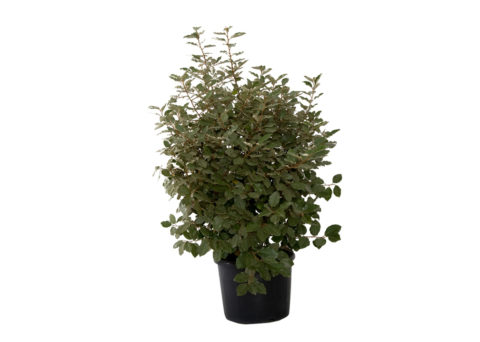 Caporalplant - Eleagnus ebbingei verde vaso 50