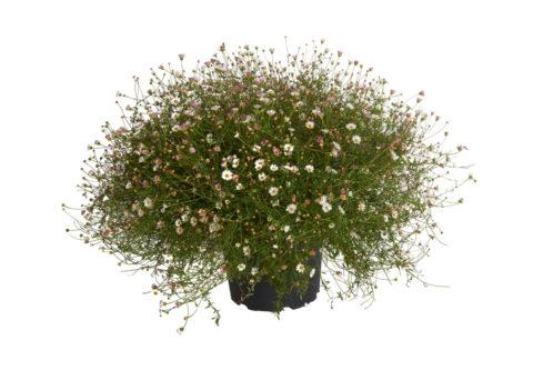 Caporalplant - Erigeron vaso 23