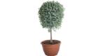Caporalplant - Eucaliptus