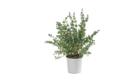 Caporalplant - Eucaliptus cespuglio