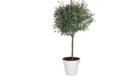 Caporalplant - Eucaliptus gunnii