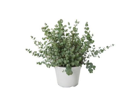 Caporalplant - Eucaliptus gunnii cespuglio
