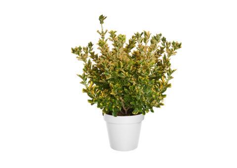 Caporalplant - Euonymus japonicus aurea cespuglio 24