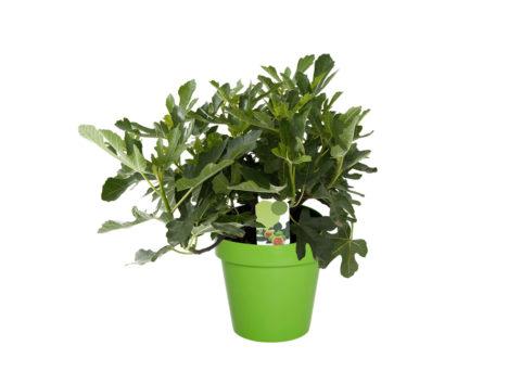 Caporalplant - Ficus carica cespuglio