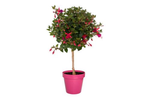 Caporalplant - Fuchsia alberello vaso 21