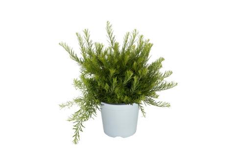 Caporalplant - Grevillea vaso 17