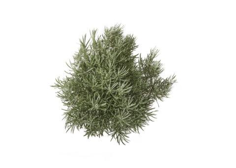 Caporalplant - Helichrysum italicum cespuglio dettaglio
