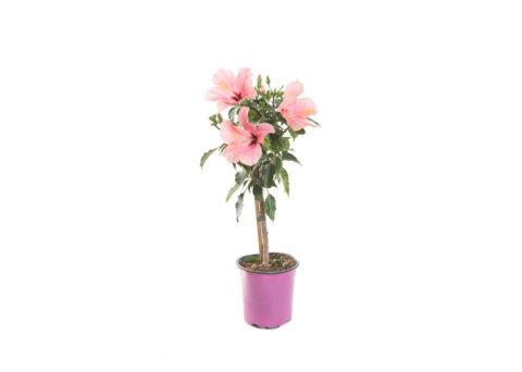 Caporalplant - Hibiscus rosa