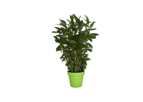 Caporalplant - Laurus nobilis cespuglio vaso 14