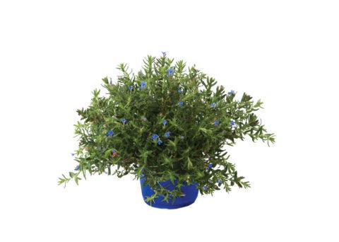 Caporalplant - Lithodora diffusa vaso 21