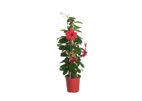 Caporalplant - Mandevilla red piramide vaso 17