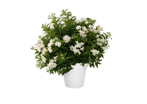 Caporalplant - Solanum jasminoides cespuglio vaso 21