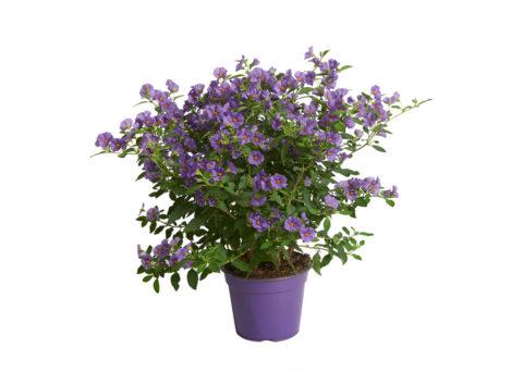 Caporalplant - Solanum rantonnetii blu vaso 14