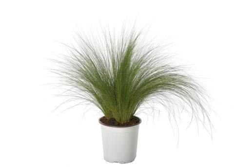 Caporalplant - Stipa tenuissima vaso 17