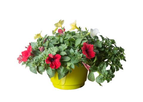 Caporalplant - Surfinia tricolor