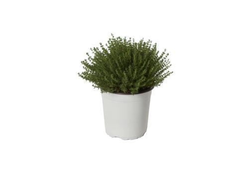 Caporalplant - Thymus officinalis vulgaris cespuglio vaso 17