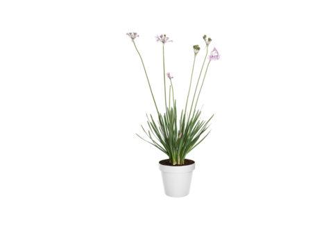 Caporalplant - Tulbaghia violacea cespuglio vaso 17