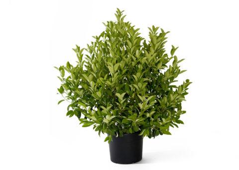 Caporalplant - Viburnum lucidum vaso 50