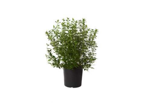 Caporalplant - Viburnum tinus cespuglio vaso 30