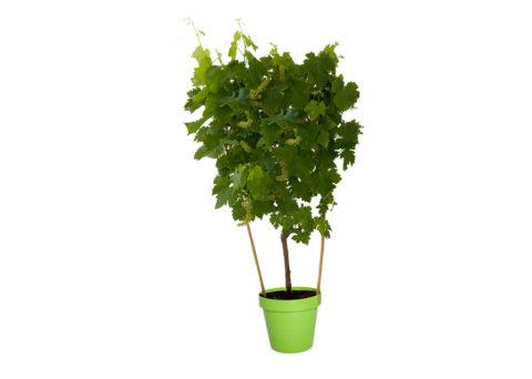 Caporalplant - Vitis Vinifera coccio 22