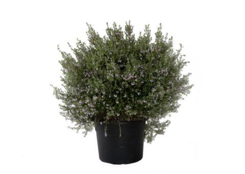 Caporalplant - Westrigia fruticosa rosa cespuglio vaso 30