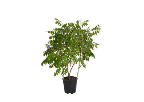 Caporalplant - Wisteria sinensis spalliera vaso17