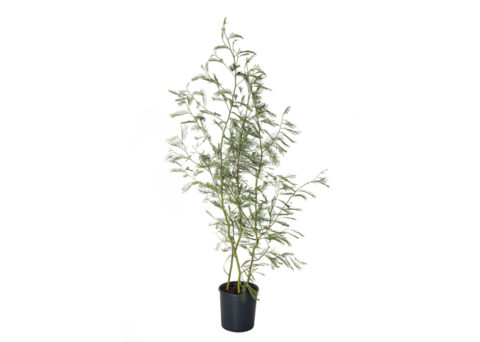 Caporalplant - Acacia delbata