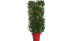 Caporalplant - Bignonia campsis rossa