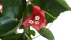 Caporalplant - Bougainvillea Californiana - dettaglio