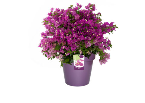 Caporalplant - Bouganvillea sanderiana cespuglio vaso 30