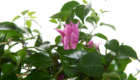 Caporalplant - Bouganvillea sanderiana dettaglio