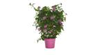 Caporalplant - Bouganvillea sanderiana spalliera vaso 14