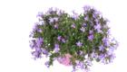 Caporalplant - Pitosforo tobira nano dettaglio