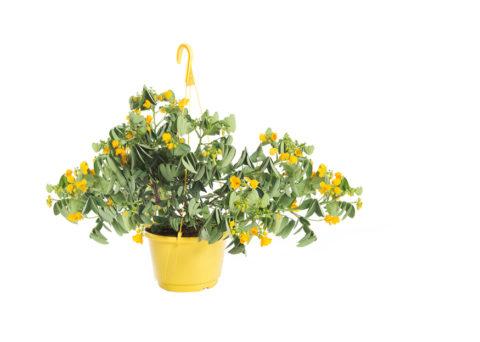 Caporalplant - Cassia corymbosa